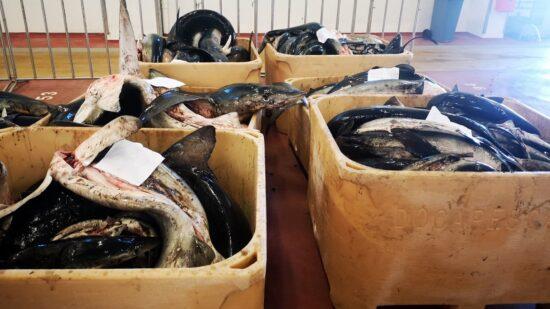 GNR apreende mais de três toneladas de tintureira em Viana do Castelo